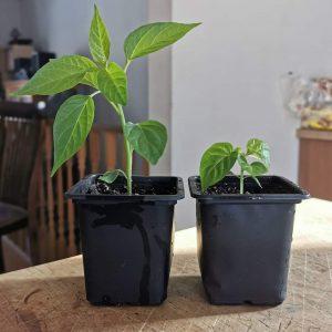 comparatif plant cayenne scotch bonnet